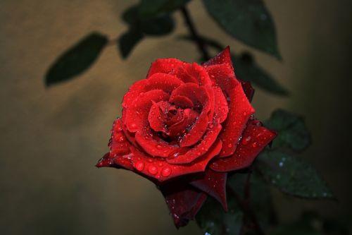 rose flower dark