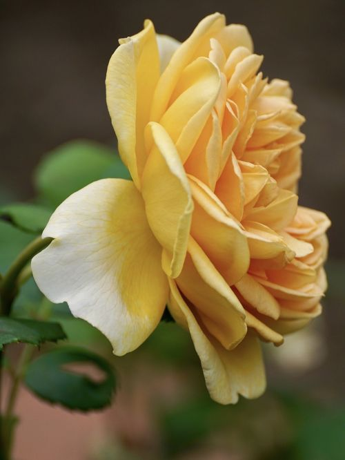rose yellow flower