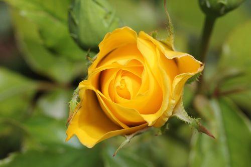 rožė,pinigai,flora,gėlė,sodas,Laukinė rožė,žiedas,žydėti,gamta,vasara,žydėti,augalas,Uždaryti,romantiškas,kvepalai,pavasaris,šviesus,lapai,išaugo žydėti