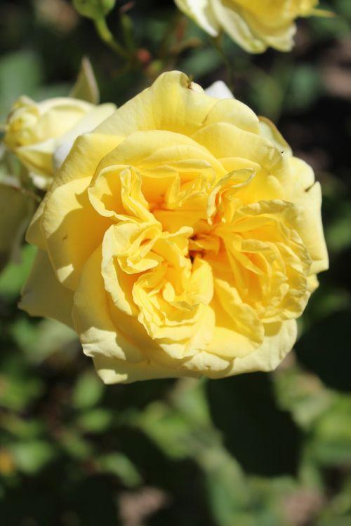 rose yellow rose blooms
