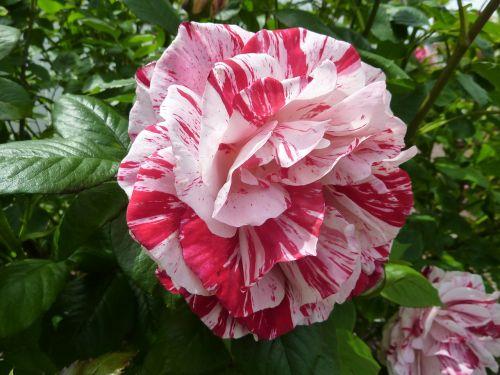 rose flower roses