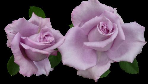 rose mauve cut out
