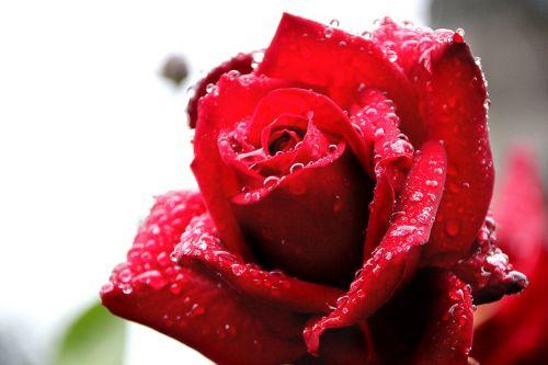 rose drip dew