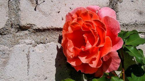 rose flower rose flower