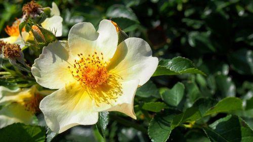 rose rose flower flower