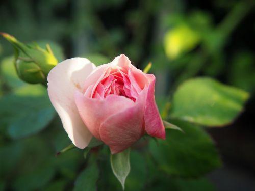 rožė,sodas,rožinis,žiedas,žydėti,gėlė,gamta,rožių žydėjimas,išaugo žydėti,žydėti,gražus,augalas,rožinis pumpuras,sodo rožės,atvirukas,romo stalas,gedulas