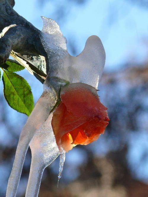 rose iced viktualienmarkt