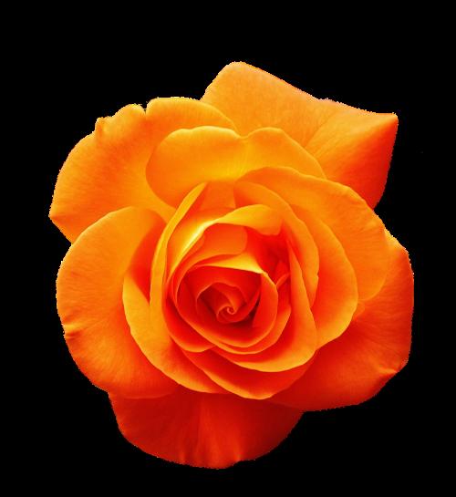 rožė,oranžinė,žiedas,žydėti,gėlė,oranžinės rožės,Uždaryti,rožių žydėjimas,rožių žiedlapiai,gamta,išaugo žydėti,sodas,augalas,sodo rožės,žydėti,izoliuotas,išimtis,Iškirpti,pasėlių auginimas