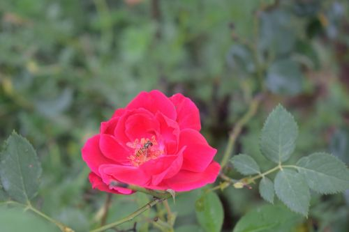 rose flower nature