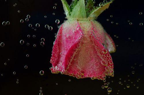 rožė,povandeninis,vanduo,blubber,smūgis,vandens burbuliukai,oro burbuliukai,dujiniai burbuliukai,gražus,rožinis,panardinimas,vandenyje