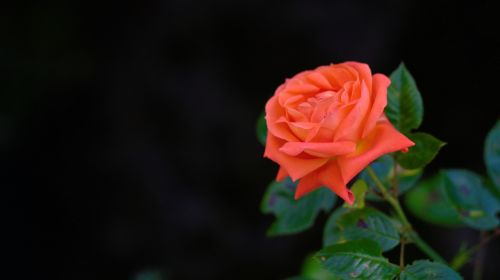 rose flower flowers