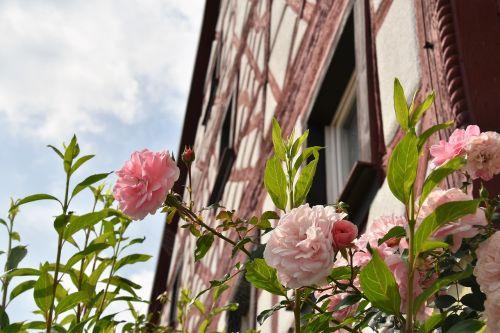 rose flower old house