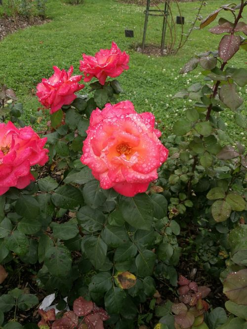 rose drop of water beautiful