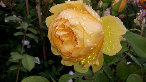 rose yellow yellow roses