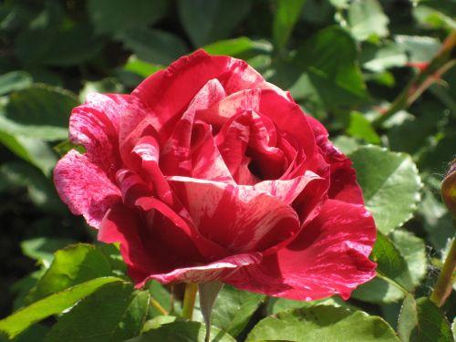 rose summer blossom