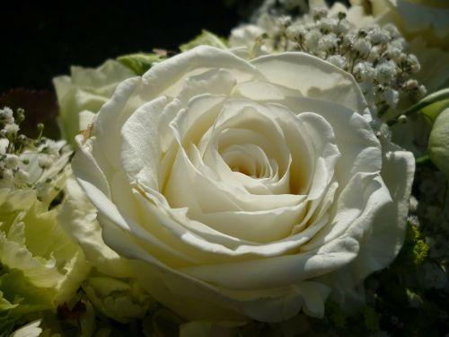 rose white flower