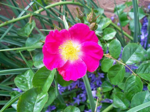 rose single-petal pink