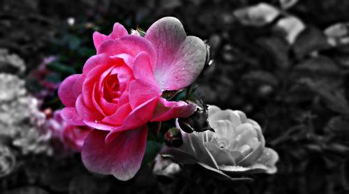rožė,gėlė,rožė,Raudona roze,rožių žiedlapiai,gamta,rožinė rožė,rosebud