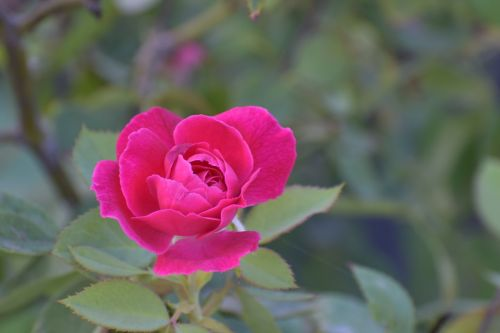 rose flower magenta
