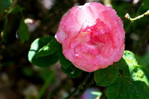 rose pink water