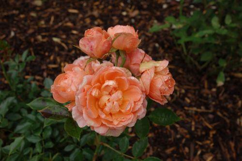 rožė,žiedas,žydėti,sodas,gėlė,rožių žydėjimas,Uždaryti,anglų rozė,nemokama rožė,dviguba gėlė,gamta,augalas,vasara,flora,oranžinė,išaugo žydėti,natūralus augalas,žydėti,gėlių sodas,lova,pilnai žydėti,užpildytas