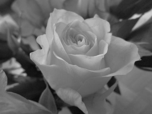 rožė,juoda ir balta,gėlė,gamta,išaugo žydėti,gedulas,žydėti,žiedas,žydėti