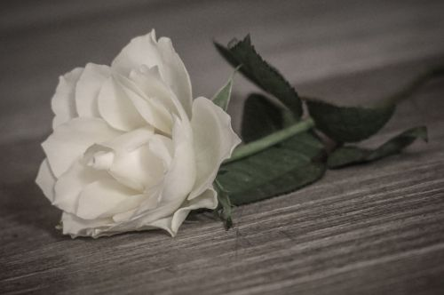 rožė,romantiškas,balta,gėlė,Vestuvės,mediena,Balta rožė,žiedas,žydėti,vasara,frisch