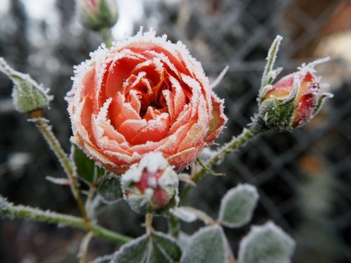 rose frost winter