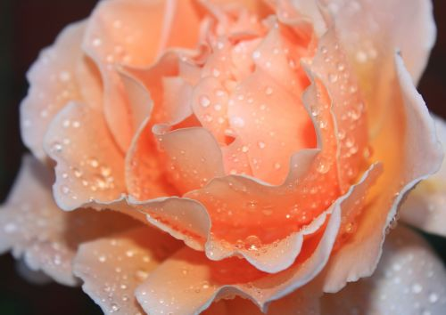 rose rainfall water droplets