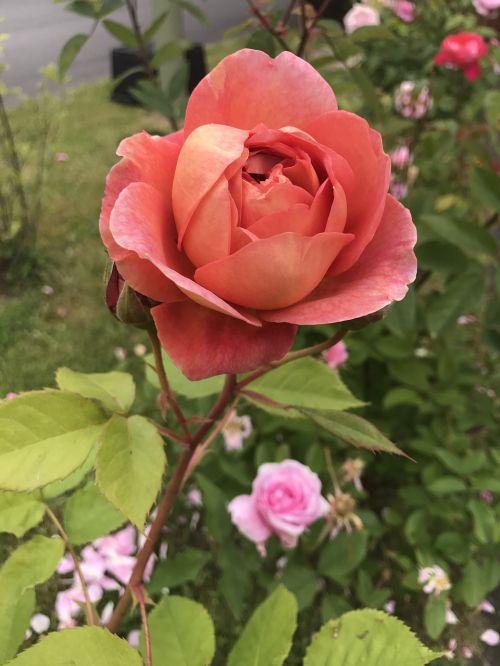 rose roses rosebush