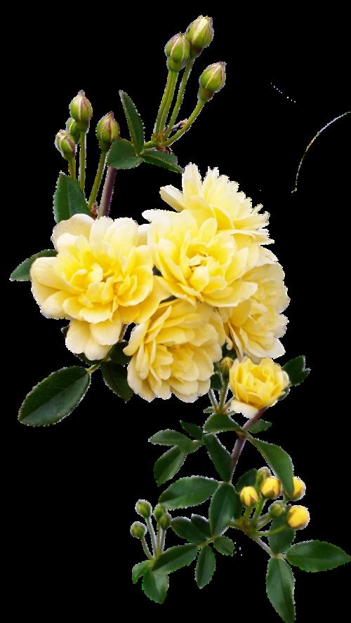 rose yellow climber
