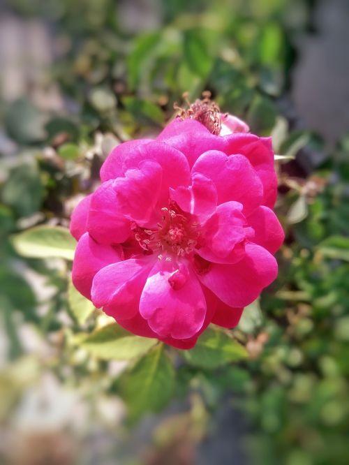 rose rosa gallica flower