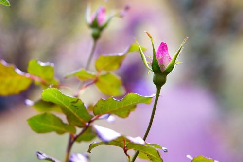 rose autumn blossom