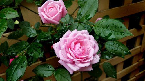 rose pink rain drops
