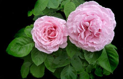 rose pink ruffled