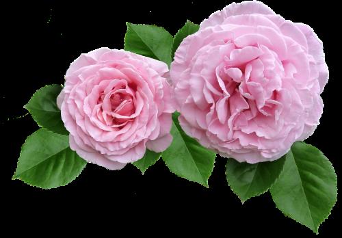 rose pink ruffled petals cut out