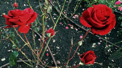 rose flower red