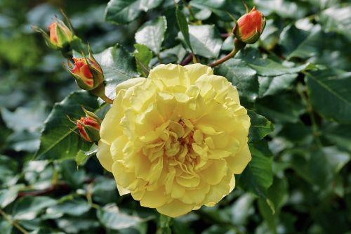 Free photos flowers are yellow red search download needpix roserose bushyellowflowernaturegardenflowersplant mightylinksfo