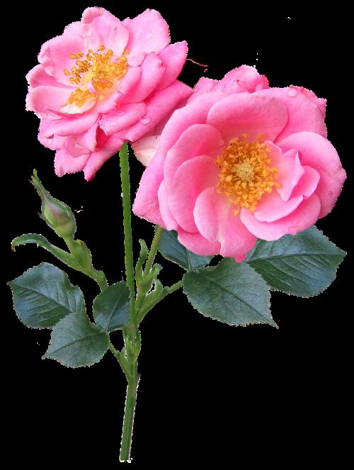 rose blooms stem