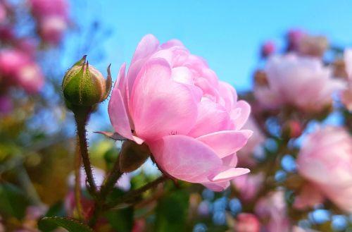 rose bush röschen rose blooms