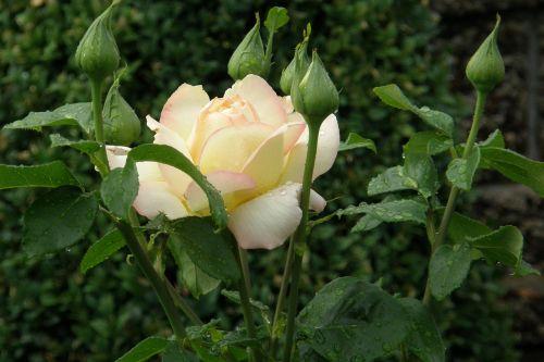 rose floribunda gloria dei