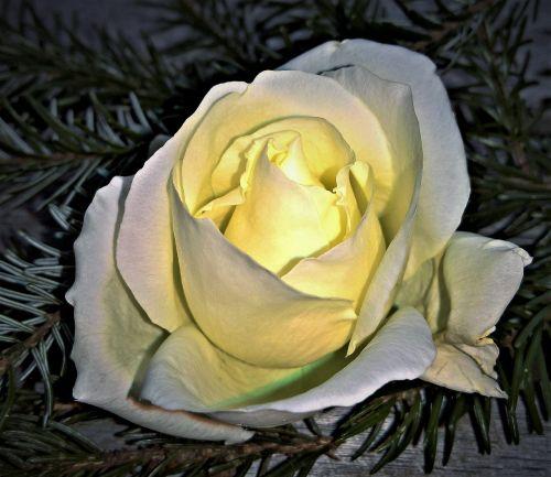 rose floribunda single bloom