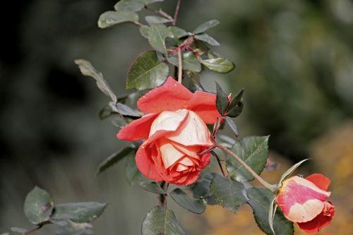 rose red blossom