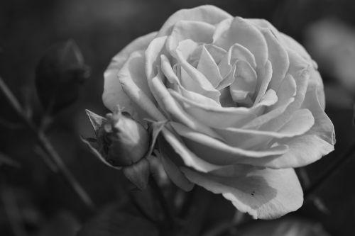 rožė,gėlė,žydėti,kvepalai,žiedas,žydėti,augalas,gamta,makro,Uždaryti,sodas,juoda ir balta,budas,gėlių pumpurai,vienspalvis,augti,augimas,žiedas,pakilti,gražus,kūrimas,žinoma,veisimas,rožių veisimas,rožių sodas,rosedal,Buenos Airės,Palermo,šviesa,šerti,nemokamas vaizdas