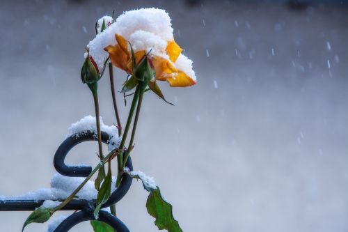 rose winter flowers