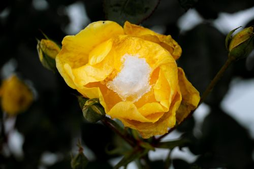 rose faded winter