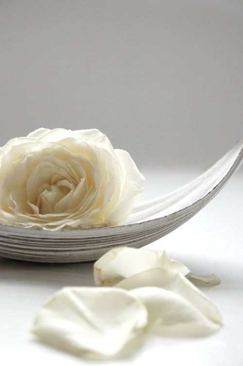 rose white still life