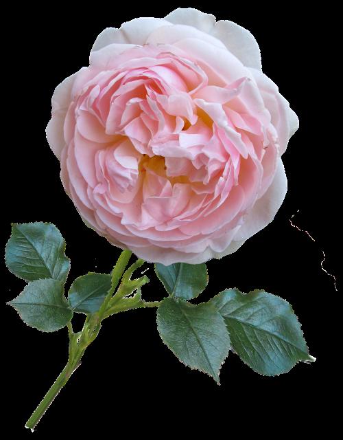 rose pink david austin