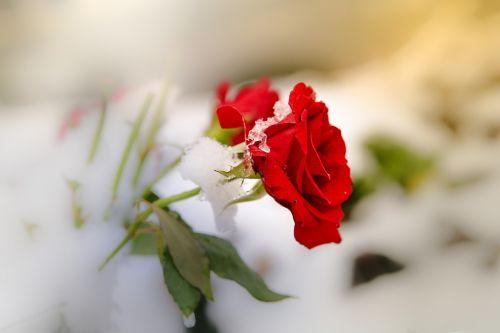 rose snow mourning