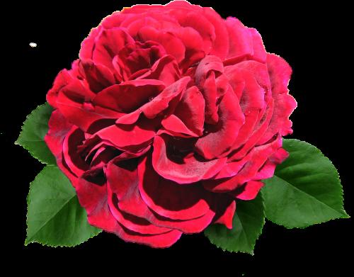 rose red david austin